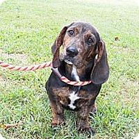 Adopt A Pet :: Stella - Adamsville, TN