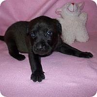 Adopt A Pet :: Brownie - Shirley, NY
