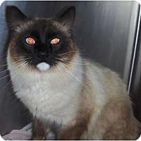Adopt A Pet :: Shoshone - Chandler, AZ