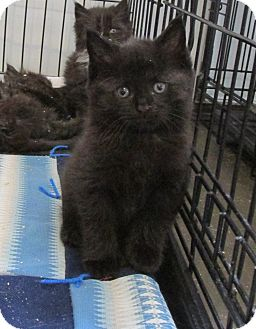 Domestic Shorthair Kitten for adoption in Marseilles, Illinois - Prudence