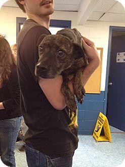 Spaniel (Unknown Type)/Hound (Unknown Type) Mix Dog for adoption in Bradford, Pennsylvania - Cintra