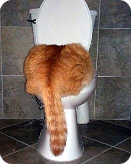 Domestic Longhair Cat for adoption in Las Vegas, Nevada - Dusty Joe