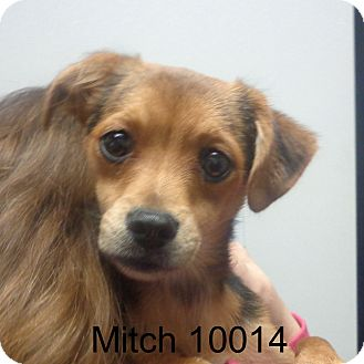 Chihuahua/Beagle Mix Dog for adoption in Greencastle, North Carolina - Mitch