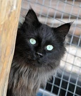 Domestic Longhair Cat for adoption in Alamogordo, New Mexico - SIR GALLAHAD