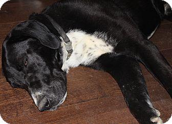Great Dane/Labrador Retriever Mix Dog for adoption in Stevens Point, Wisconsin - Jett