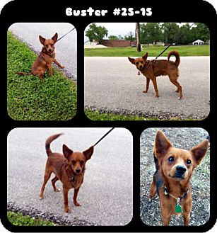 Terrier (Unknown Type, Small) Mix Dog for adoption in Huntsville, Missouri - Buster