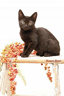 Domestic Shorthair Kitten for adoption in Sterling Heights, Michigan - Pele - ADOPTED