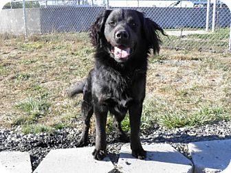 Newfoundland Mix Dog for adoption in Reedsport, Oregon - Majic