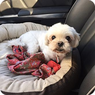 Shih Tzu/Maltese Mix Dog for adoption in Los Angeles, California - Betty