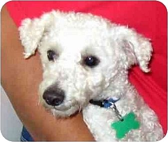 Poodle (Miniature) Dog for adoption in Downey, California - Mr. Bean