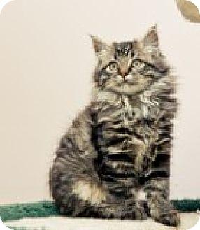 Domestic Longhair Kitten for adoption in Cannon Falls, Minnesota - Marcie