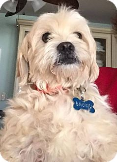 Maltese Mix Dog for adoption in Ball Ground, Georgia - Snowy