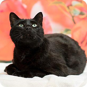 Domestic Shorthair Cat for adoption in Houston, Texas - Neville