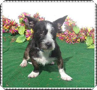 Wirehaired Fox Terrier/Scottie, Scottish Terrier Mix Dog for adoption in Marietta, Georgia - WHISKEY
