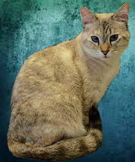 Siamese Cat for adoption in Tucson, Arizona - Kyipo