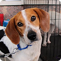 Adopt A Pet :: Sadie *Foster Me - Richmond, VA