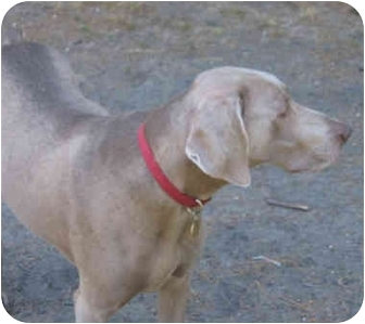 Weimaraner Dog for adoption in Grand Haven, Michigan - Balu