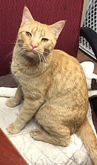 Domestic Shorthair Cat for adoption in Tucson, Arizona - SAILOR