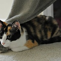 Domestic Shorthair Cat for adoption in Durham, North Carolina - Emma