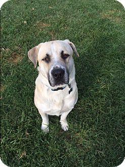 Anatolian Shepherd/Labrador Retriever Mix Dog for adoption in McKinney, Texas - Bubba