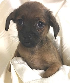 Chihuahua/Pomeranian Mix Puppy for adoption in Hammonton, New Jersey - Dobby