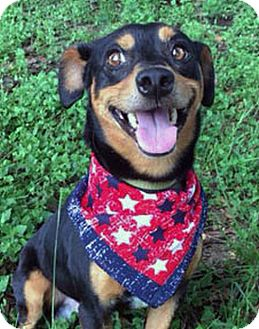 Terrier (Unknown Type, Small)/Rat Terrier Mix Dog for adoption in LAFAYETTE, Louisiana - BENNY