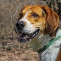 Adopt A Pet :: Gator - Mt Pleasant, MI