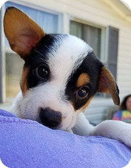 Jack Russell Terrier Mix Puppy for adoption in Brunswick, Maine - Bubba