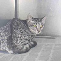 Domestic Mediumhair Cat for adoption in Los Angeles, California - CARMELINA