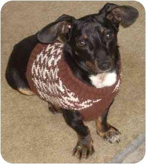 Dachshund/Chihuahua Mix Dog for adoption in Overland Park, Kansas - Roscoe