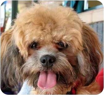 Poodle (Miniature)/Shih Tzu Mix Dog for adoption in Vista, California - Kip