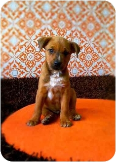Manchester Terrier/Beagle Mix Puppy for adoption in Portland, Oregon - Porky