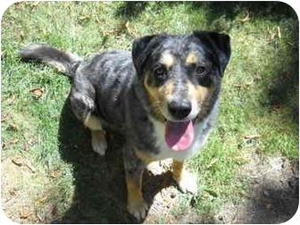 Australian Cattle Dog/Australian Shepherd Mix Dog for adoption in Salem, Oregon - Cassie
