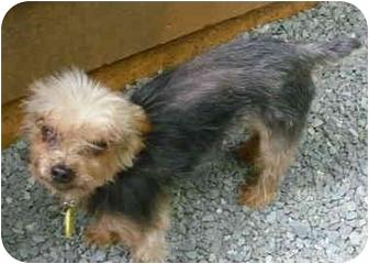 Yorkie, Yorkshire Terrier Dog for adoption in Greensboro, North Carolina - Michael