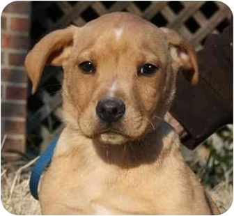 Labrador Retriever Mix Puppy for adoption in Windham, New Hampshire - Rudy