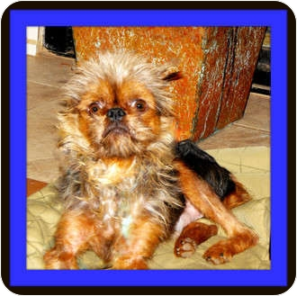 Brussels Griffon Dog for adoption in Seymour, Missouri - EDDIE - ADOPTION PENDING