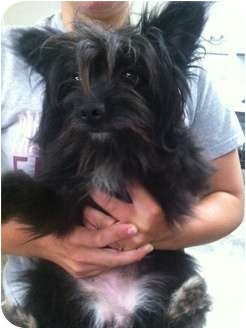 Yorkie, Yorkshire Terrier/Maltese Mix Dog for adoption in Lonedell, Missouri - sully
