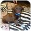 Photo 1 - Dachshund Mix Puppy for adoption in Tustin, California - Oscar