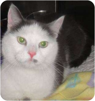 Domestic Shorthair Cat for adoption in Barron, Wisconsin - Jasmine