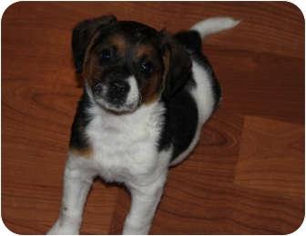 Australian Shepherd/Labrador Retriever Mix Puppy for adoption in Elgin, Illinois - SARABI