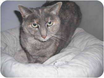 Domestic Shorthair Cat for adoption in Rock Springs, Wyoming - Chubbs