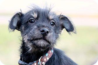 Schnauzer (Standard)/Terrier (Unknown Type, Small) Mix Puppy for adoption in Austin, Texas - Zander