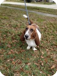 Basset Hound Dog for adoption in Folsom, Louisiana - Willow