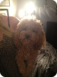 Poodle (Toy or Tea Cup) Dog for adoption in Treton, Ontario - Levi