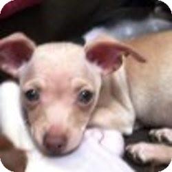 Chihuahua Dog for adoption in Seattle c/o Kingston 98346/ Washington State, Washington - NESLtr-Falkor
