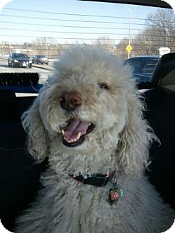 Standard Poodle Dog for adoption in Bowmanville, Ontario - Fergus