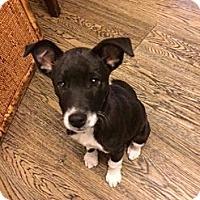 Adopt A Pet :: Boots - Adoption Pending - Vancouver, BC