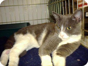 Domestic Shorthair Cat for adoption in Salem, Oregon - Milo (shelter)