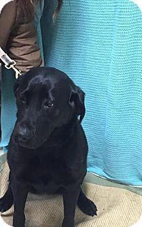 Labrador Retriever Dog for adoption in North Pole, Alaska - Ariel