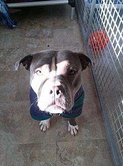 Pit Bull Terrier Mix Dog for adoption in Westminster, Maryland - Cameo